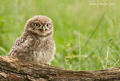 Little Owl (Stuart G Wright Photography) Tags: bird birds little owl prey wwwstuartgwrightcom