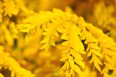 A Golden Spell (Jenn (ovaunda)) Tags: autumn fall utah nikon 70300mm cedarcity d90 nikonafnikkor70300mmf456g jennovaunda ovaunda
