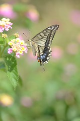 old world swallowtail and lantana (snowshoe hare) Tags: flowers butterfly lantana   oldworldswallowtail  dsc1101 botnaicalgarden