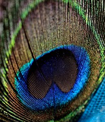 Feathered Fascination (V) (MorboKat) Tags: macro hair feather headband feathered millinery hairaccessory fascinator blairnadeau