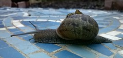Snail 001 (Sensation Art Gallery) Tags: garden shell snail slippery slimy mollusc snaileyestalks