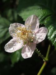 Ronce (L'herbier en photos) Tags: rosaces rosaceae rubus fruticosus ronce blackberry zarza ottignies ottignieslouvainlaneuve brabant wallon wallonie belgique lauzelle