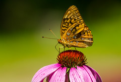 Sipping From A Coneflower (Catskills Photography) Tags: bokeh butterfly animal greatspangledfritillary coneflower flower nature wildlife echinacea canon70300mmllens hbw