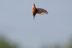 Kingfisher Male  Alcedo atthis 009-1 (cwoodend..........Thanks) Tags: 2016 brandon brandonmarsh naturereserve brandonmarshnaturereserve steetleyhide westmarshpool kingfisher alcedoatthis kingfishermale kingfisherhovering