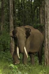 Tusker from Kabini (varmarohit) Tags: elephant elephants wildlifephotography wilderness wildlifephotograph wildindia wildlife karnataka kabini rohitvarma rohit naturephotography nature naturephotograph