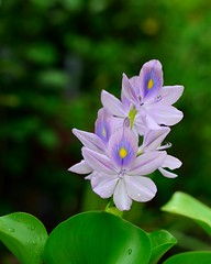 Eichhornia crassipes flower (khoibinh) Tags: eichhornia crassipes flower water hyacinth nikon sigma 35mm art