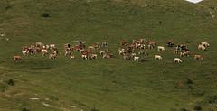 Mandria (lincerosso) Tags: animali bovini bosprimigenius bosdomesticus pascolo prateria montagna paesaggio landscape mandria bellezza armonia