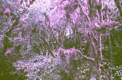 Psychedelic Landscape (chloecoislier) Tags: analoguefilm analogue argentic ae1 analogshooters experimentation escape expiredfilm 35mm grunge ishootfilm psyche psychedelic photography memories memory landscape loneliness lomopurple keepfilmalive kaleidoscop kaleidoscope heygrain grainisgood filmisnotdead filmcommunity filmexperimentation destroyedfilm damagedfilm soupfilm nofilter nightmare naturelover believeinfilm canonae1