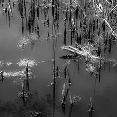 Pond Reflection 004 (noahbw) Tags: d5000 nikon abstract blackwhite blackandwhite bw forest hellernaturecenter landscape monochrome natural noahbw pond quiet reeds reflection square still stillness summer water woods