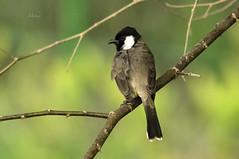 Bulbul Portrait (Syed Mohsin Khadri) Tags: nikond7100 sigma150500mm nikonphotography birdphotography birdsinflight birdsofuae birdwatching portait perching naturephotography whitecheekedbulbul bulbul animalphotography