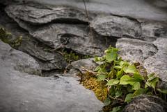 The Burren, Ireland (vonHabsburg) Tags: ireland burren pland macro stone stein grau grey makro irland dieburren brimstone kalkstein pflanze witterung erosion