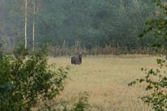 Moose (anukainulainen) Tags: autumn fall hirvi moose syksy