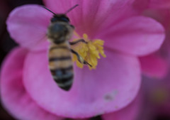 insect (pandeesh89) Tags: insect bee photo color flower honey food nature sf local golden gate park us parks california macro mpe65 canon