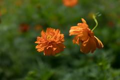DSC02172 (Zengame) Tags: hamarikyu hamarikyugardens rx rx1 rx1r rx1rm2 rx1rmark2 sony zeiss cc cosmos creativecommons flower japan tokyo           jp