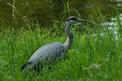 Grey Heron (elhawk) Tags: northholland heron greyheron