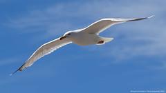 Soaring Above (AreKev) Tags: seagull gull bird seabird laridae lari flying overhead bluesky blue sky seasideresort seaside sea coast coastline exmouth eastdevon devon england uk sonydschx400v