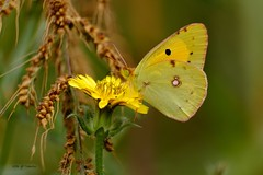 Un souci (jpto_55) Tags: souci papillon jaune macro bokeh xe1 fuji fujifilm fujixf55200mmf3548rlmois hautegaronne france