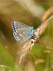 Common Blue (Gaz-zee-boh) Tags: commonblue butterfly lepidoptera nature swanage purbeckway dorset nikon d7k almostanything insect