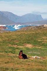 Greenland horse (Luis Alvarez Menndez) Tags: groenlandia greenland tasiusaq horse caballo hielo ice iceberg fiordo fiord nature