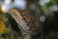 Basiliscus vittatus (berenicematap) Tags: herpetofauna reptil corytophanidae basiliscus mxico palenque chiapas lagarto fauna biodiversidad