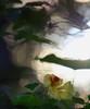 Suur mungalill. Tropaeolum majus L. (IngridFoto) Tags: suur mungalill kress tropaeolum majus l