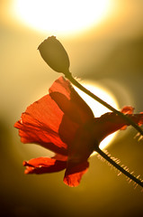The warmth of the sun (James_D_Images) Tags: backlit sunset sun reflected bokeh californiapoppy poppy flower bud stems petals red yellow
