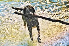 ~~Mille gouttelettes d'or...~~ (Jolisa) Tags: hlna chien dog eau mouvement motion bton jeu gouttelettes or bokeh juillet2013