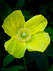 Meconopsis cambrica (Juanvi Medrano) Tags: meconopsis cambrica amapola amarilla