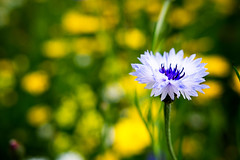 cornflower (louise.helen) Tags: cornflower cornflowers wildflowers bokeh dof sigmaart batchelorsbutton