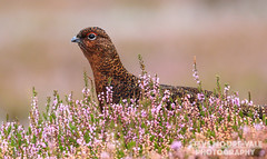 Red Grouse in heather (Steve Moore-Vale) Tags: birds england florafauna heather lagopuslagopus places portrait redgrouse unitedkingdom wildlife yorkshire bokeh colourful grinton head moor