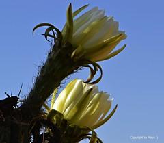 Licht und Schatten * Light and shadow * Luz y sombra *   . _DSC4458-001 (maya.walti HK) Tags: 2016 260916 blten blossoms cactus copyrightbymayawaltihk echinopsisspachiana espaa flickr flores makro nikond3200 pflanzen plantas plants spain spanien
