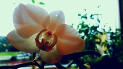 Orchid (blondinrikard) Tags: orchid orkide flower blomma window
