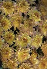 DSC_0161 fall flowers upright (snolic...linda) Tags: arkansas 501 fall flowers mums
