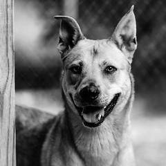 Gypsy04Sep1600027-Edit.jpg (fredstrobel) Tags: dogs pawsatanta phototype atlanta blackandwhite usa animals ga pets places pawsdogs decatur georgia unitedstates us