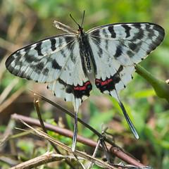 Dragon Swallowtail - male (mishko2007) Tags: sericinusmontela dragonswallowtail korea 105mmf28