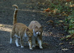Leo breaks in a new recruit (judecat (back with the pride)) Tags: felines redtabbies kittywalk simon leo cats