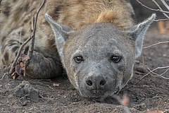 s AT Hyena mom_DSC_9673 (Andrew JK Tan) Tags: 2016 safari botswana mashatu hyena wildlife nature