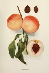 n374_w1150 (BioDivLibrary) Tags: andrewjackson 18151852 downingaj fruitculture newyorkstate portraits prunuspersica rosaceae newyorkbotanicalgardenluesthertmertzlibrary bhl:page=6593968 dc:identifier=httpbiodiversitylibraryorgpage6593968 laterareripepeach