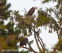 Bald Eagle Pair First Day of Fall Canon 5DSR (Mike Black photography) Tags: bald eagle bird nature big year birding watching ebird cornell nj new jersey shore shark river belmar mike black canon 5dsr body 600mm f40 l lens is usm first day fall