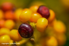 Summer Fruits (Holfo) Tags: berries summer fruits macro yellow bright purple corfu greece bokeh depthoffield nikon d5300 depth