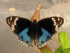 Junonia orithya (Lepsibu) Tags: