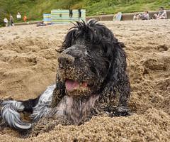 Beach Fun (Photo Gal 2009) Tags: dog beach wales fun sand otis spaniel welsh cocker cockerspaniel ceredigion dirtydog wetdog englishcockerspaniel tresaith beachwest welshbeach walesseasidewales tresaithbeach seasidewest seasidedogcaninesanddog sandybeachsandy