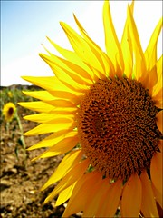 Eguzkilore (blacksmallow_Aintzane) Tags: summer vacation brown sun holiday sol field yellow canon hojas leaf natural pipe natura amarillo sunflower campo marron girasol pipas horia eguzkilore zelaia marroia hostoa pipak