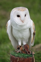 Barn Owl (Elentari86) Tags: september warwickshire barnowl birdofprey 2012 hattoncountryworld warwickshirecountryfair