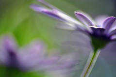 Purplelicious (missgeok) Tags: lighting flowers macro nature beautiful composition daisies petals focus colours purple artistic bokeh pov smooth sydney creative mauve dreamy elegant blurr selectivefocus shallowdof softtones prettycolours purpleandgreen softtouch bokehlicious prettyfocus purpelicious