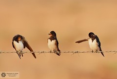 swallow (abduleelah.s.klefah) Tags: swallow
