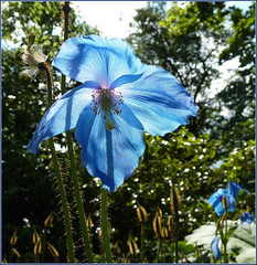 Meconopsis: Blue poppy ... view on black (ronmcbride66) Tags: flower shadows backlit bluepoppy meconopsis coth supershot backlitflower dragondaggerphoto exoticimage sunrays5