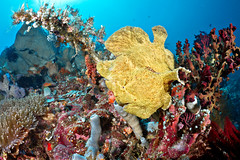 Giant Frogfish in Bangka (Luko GR) Tags: fish coral giant indonesia underwater north scuba diving frogfish sulawesi bangka sahaung