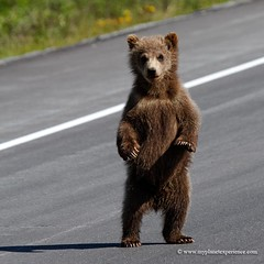 Hey folks, I'm crossing! (My Planet Experience) Tags: voyage ca trip travel portrait usa canada alaska america cub us highway unitedstates haines ak yukon cubs grizzly canad kanada hainesjunction yt  stockphotography amrique tatsunis  yukonterritory ursusarctoshorribilis   kanado    wwwmyplanetexperiencecom myplanetexperience k