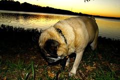 Not Today(C) (Billie's Photos) Tags: sunset orange canon eos pug diva uncooperative vinny 366 60d pugzilla vinnydapug goodluckgettingashot